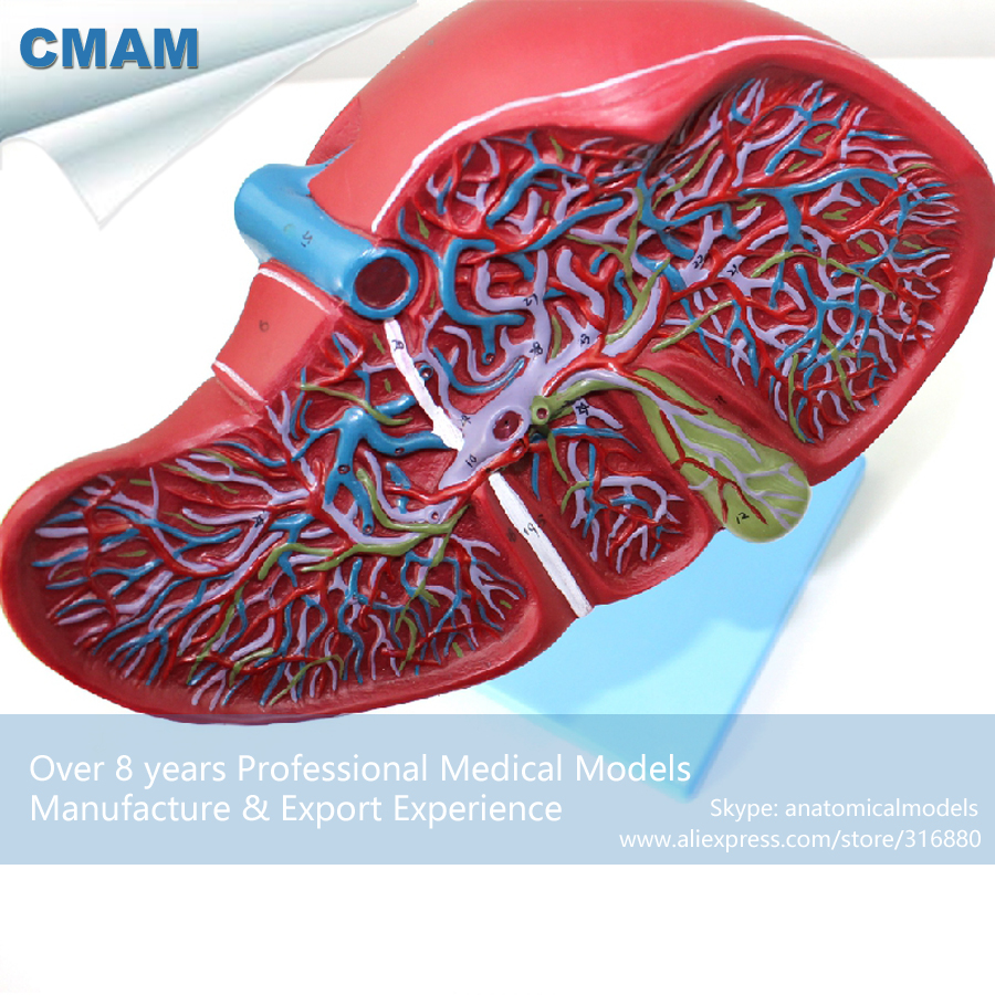 CMAM-VISCERA07 Liver Section with Gall Bladder Anatomy Model on Stand, Medical Science Educational Teaching Anatomical Models cmam a29 clinical anatomy model of cat medical science educational teaching anatomical models