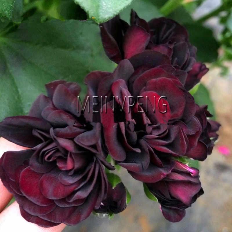 Vendita! rare Rosso Nero Rosa Geranio bonsai, Perenne piante da Fiore Pelargonium Peltatum Bonsai per Interni Camere, 5 da giardino