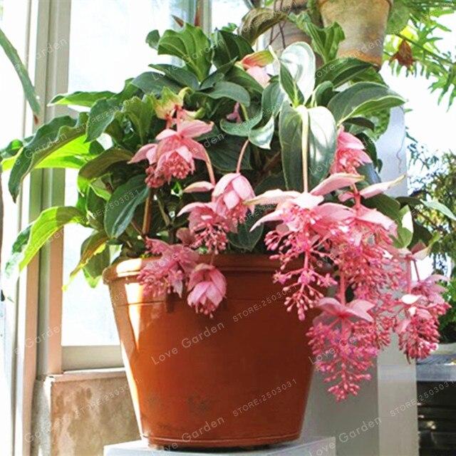 Medinilla Magnifica Anlage Sehr Schöne Bonsai Blume Pflanze Für Home