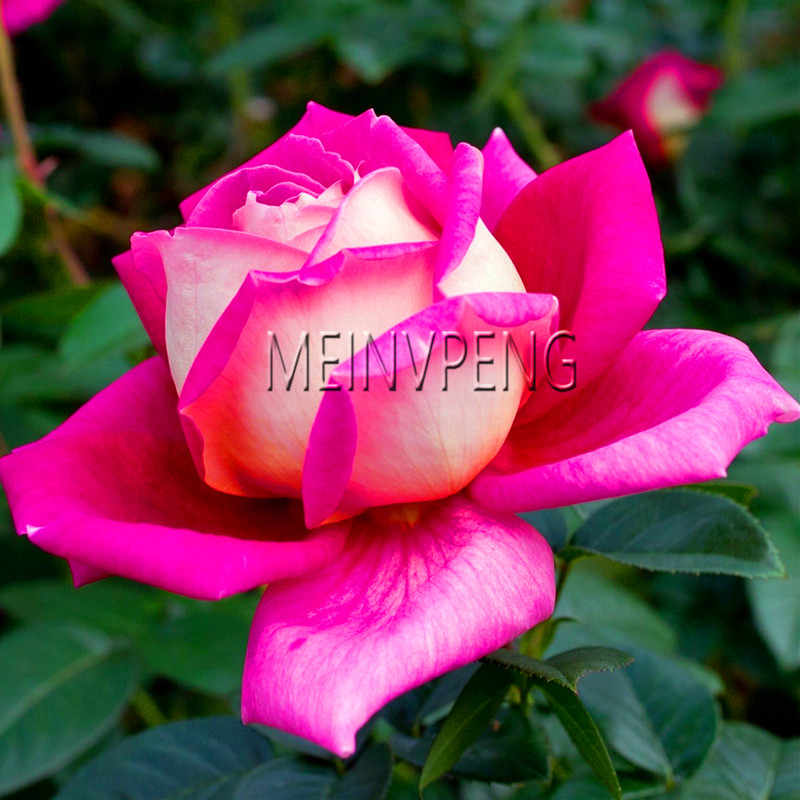 Распродажа! редкая голландская Радуга, Роза бонсай цветы для дома и сада редкая Радуга, роза цветок растения легко выращивать, 200 Флорес