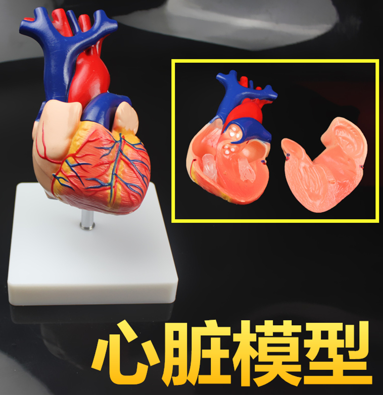 11 Human Anatomical Heart Anatomy Viscera Medical Organ Model