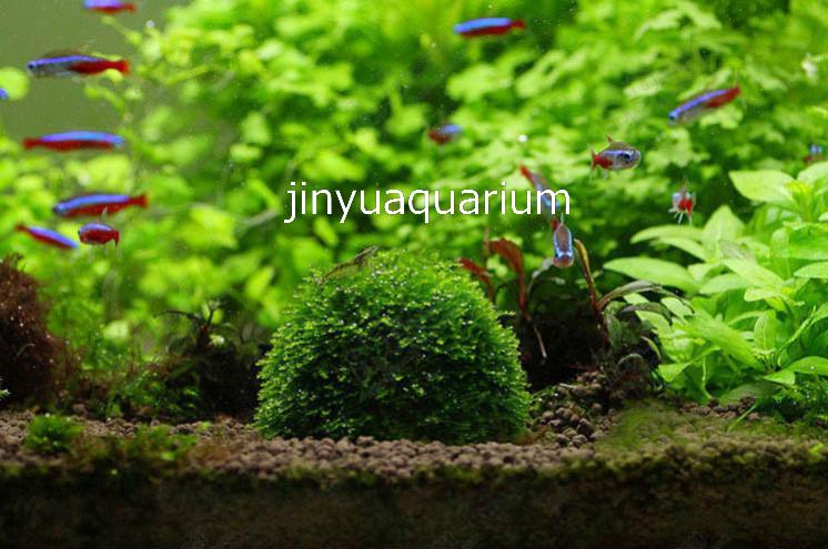 Water potted moss sinking ball plant grow landscape ADA water plant fish aquarium Tank