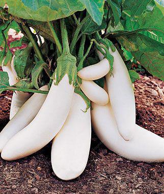 Hot Sale!100Pieces/Bag delicious Purple Eggplant bonsai flores Vegetable Eggplant plantas for home garden decoration