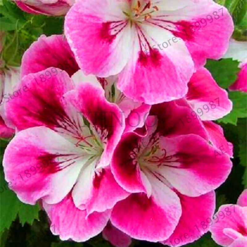Big Sale 100pcs Rare Geranium Plants Red Rose Pelargonium