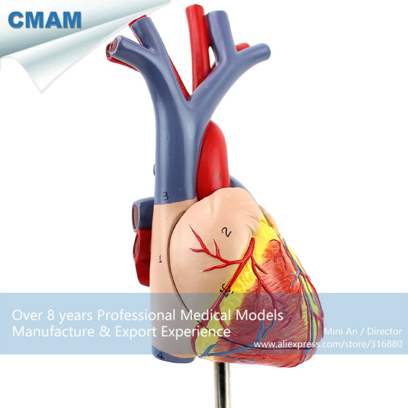 CMAM-HEART02 New Medical Anatomical Heart Model in 2 Parts, Anatomy Models > Heart Models cmam viscera01 human anatomy stomach associated of the upper abdomen model in 6 parts