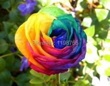 100pcs/pack Rare Holland Rainbow Rose Flower Seed Rose seeds Free Shipping