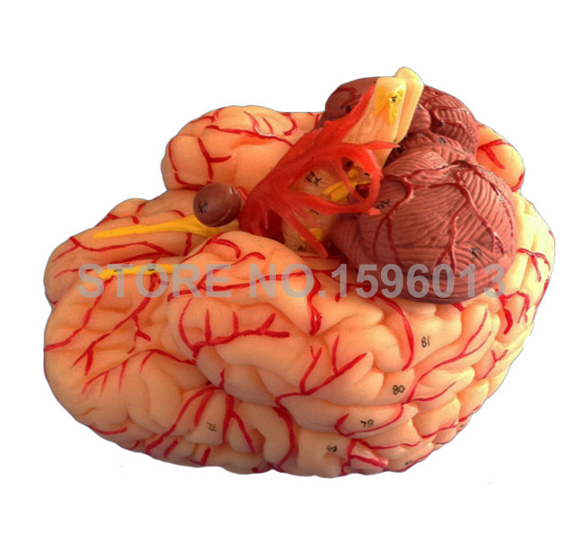 Online Shop Advanced 9 Part Brain Model With Artery Anatomical