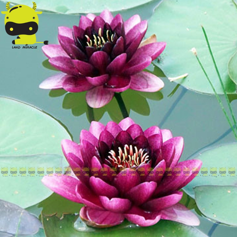 Jade lotus flower promotion shop for promotional jade lotus flower dark purple jade lotus flower seed 1 seedpack water lily variety double nelumbo nucifera for garden planting dhlflorist Gallery