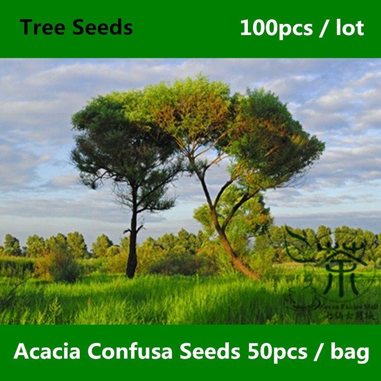 ᗑ^ Árbol de hoja perenne Acacia Confusa ^ 100 piezas, acacia Petit ...