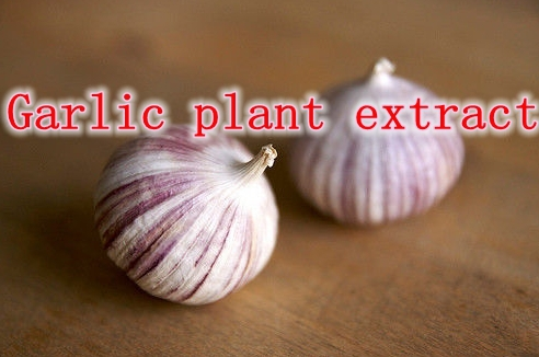 the antimicrobial properties of plants garlic The antimicrobial effect of garlic  their antibacterial properties and potential applications for the isolation of valuable essential oils from plants.