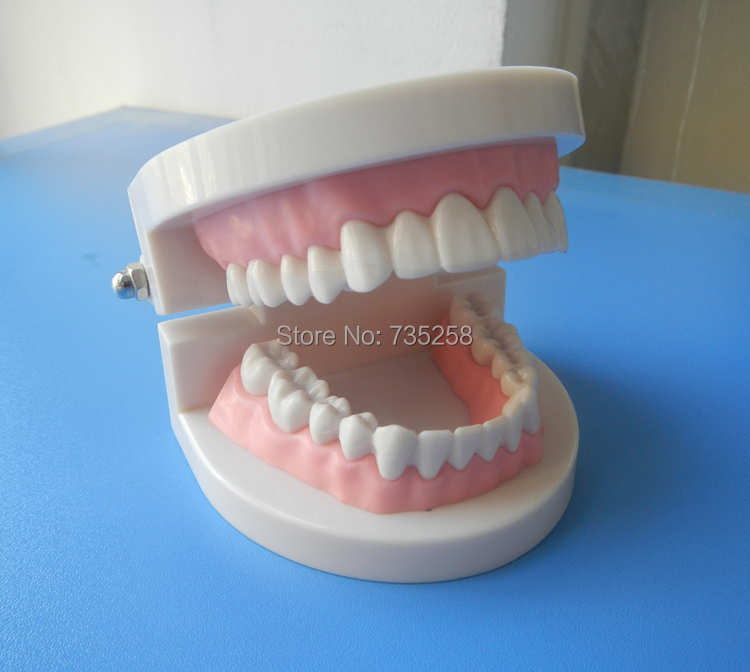 Denture Model Oral Care Model Tooth Model Simulation Model of the Tooth