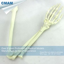 CMAM-TF14 Foam Cortical Shell Normal Anatomy Large Right Arm Bones Orthopaedic Model