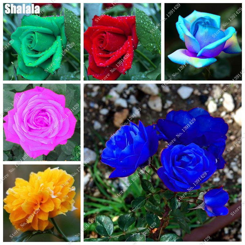 rose Épines-achetez des lots à petit prix rose &eacute