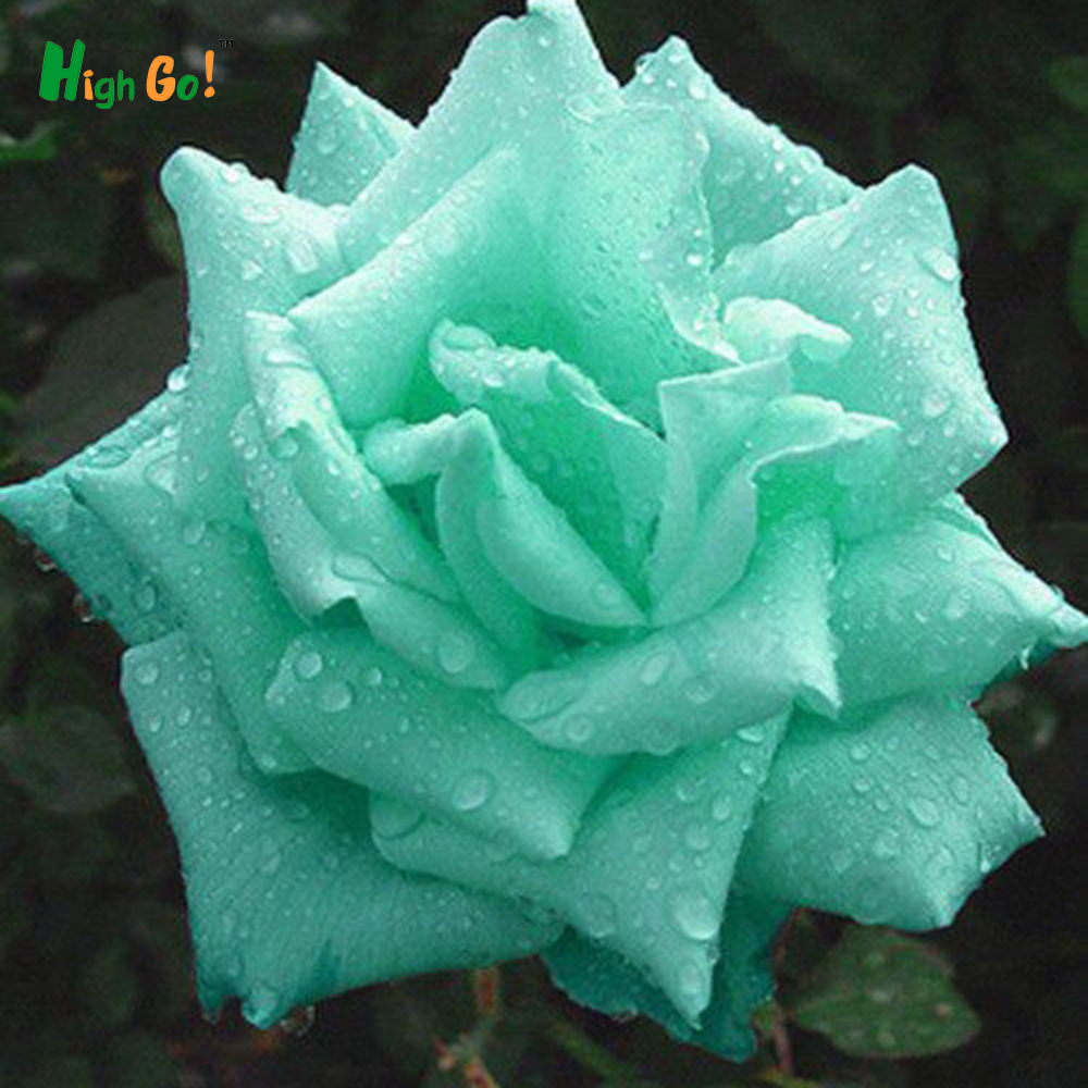 Flower pots planters 9 colors chinese rose seeds flowers for Green colour rose images