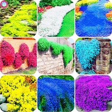 Шт. 100 шт. карликовые деревья Чабрец обыкновенный многоцветные рок CRESS растения. многолетний цветок земли крышка декоративные садовые цветы растения