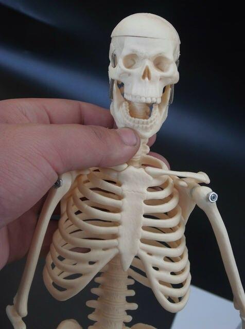 Tienda Online 45 cm esqueleto humano modelo médico torso anatomía ...
