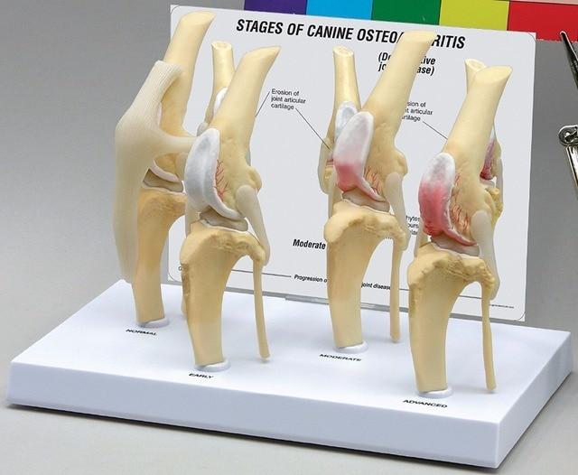 Canino osteoartritis 4 etapa rodilla canina/perro 4 etapa artritis ...