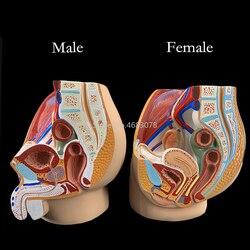 Sagittale bekken anatomie model voor mannelijke en vrouwelijke, mannelijke voortplantingsorgaan model, vrouwelijke voortplantingssysteem baarmoeder model