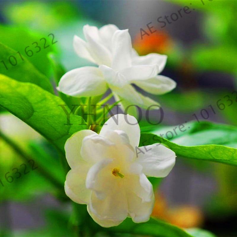 Yellow Jasmine Bonsai Plants Perennial Flowers Home Garden Arabian 10 PCS Seeds