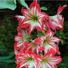 2018 Real Top Fashion Outdoor Plants Sementes Amaryllis bonsai Bonsai Hippeastrum Gorgeous Color Flower 20pcs + Mystery Gift(China)
