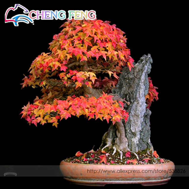 20pcs Purple Maple bonsai Rare In The World Canada Is A Beautiful Purple Maple Bonsai Plants Trees For Home Garden Free Shipping