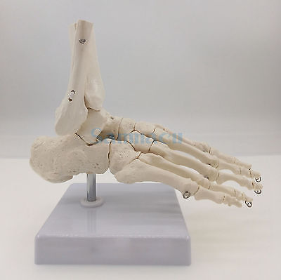 Foot and Ankle Joint Functional Anatomical Skeleton Model Medical Display Teaching School Life Size 1 2 life size knee joint anatomical model skeleton human medical anatomy for medical science teaching