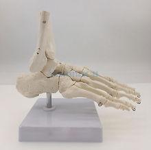 Voet En Enkel Joint Functionele Anatomisch Skelet Model Medische Display Onderwijs School Levensgrote