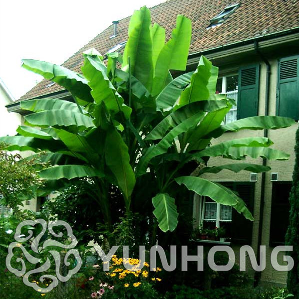Us 0 43 55 Off 100 Tas Tas Pisang Pohon Bonsai Tanaman Buah Langka Kecil Mini Cina Hainan Banana Plant Musa Dwarf Basjoo Outdoor Taman Tanaman In