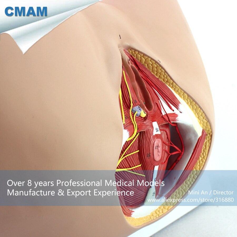 12462 CMAM ANATOMY24 Leben Größe Anatomie Modell Weibliche Damm an ...