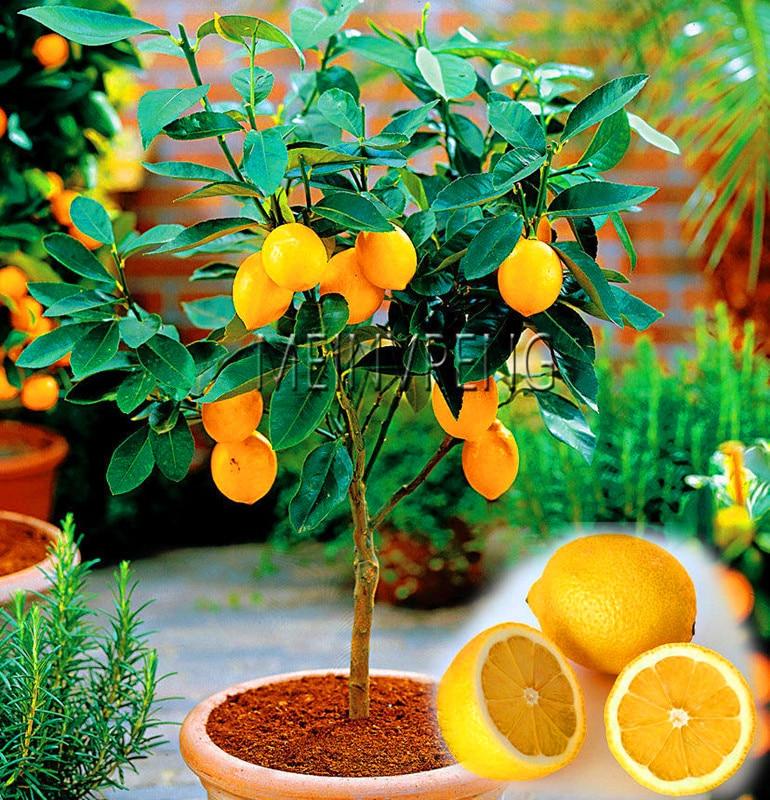 Big Promotion!Edible Fruit Meyer Lemon Bonsai, Exotic Citrus Bonsai Lemon Tree Fresh Plants Fruit Vegetable,20garden/bag