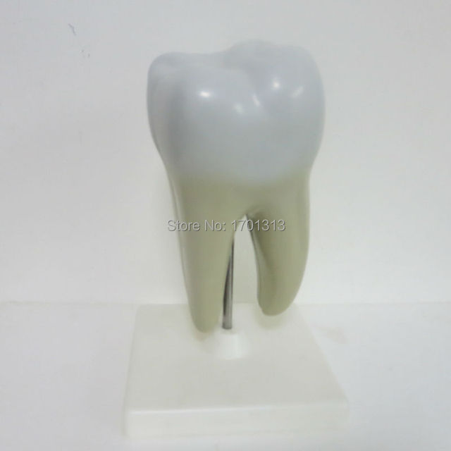 Single tooth model  Dental clinic decoration  Special decoration  personalized decorative Figurines