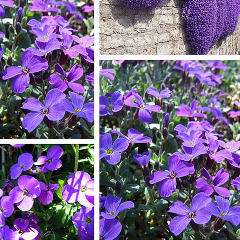 ZLKING 100pcs Purple Rock Cress Perennial Ground Cover