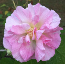 100pcs/pack Hibiscus Seeds