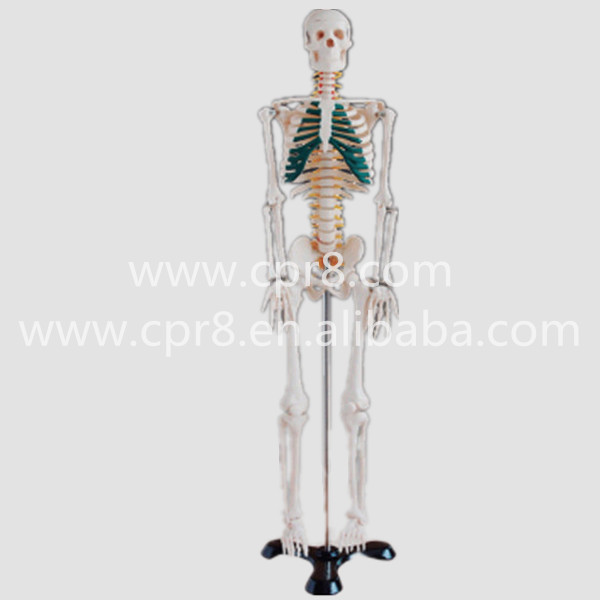 BIX-A1004 85cm Human Spinal Nerves Skeleton Model WBW371 bix a1005 human skeleton model with heart and vessels model 85cm wbw394