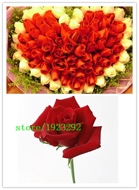 hot sale Free shipping 100pcs Seeds China Rare Meteor Shower rose seeds Flower seeds Meteoro Rose Semillas Home Garden DIY