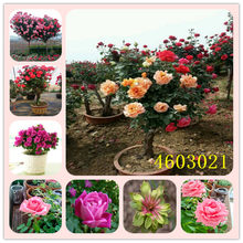 Hot Sale Promosi 100 Pcs/Tas Asli Segar Langka Rosa Chinensis Dendroidal Rose Bunga Pohon Bonsai(China)