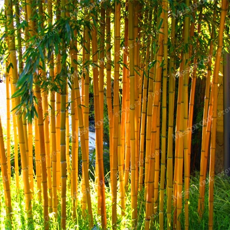 50pcs Rare Blue Bamboo Seeds Decorative Garden Herb Planter Bambu ...