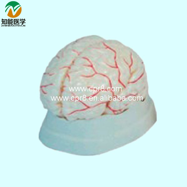 BIX-A1041 The Cerebral Artery Model Medical Aids WBW304 bix a1042 anatomy of the head cerebral artery model wbw299