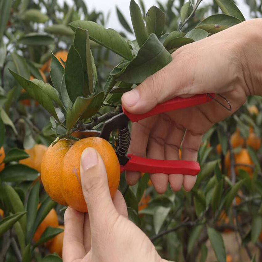 high quality orange scissors small fruit tree pruning shear fruit scissors for gardening fruit experts
