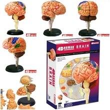 4D מאסטר אדם מוח דגם מבנה התאסף האנטומיה ממדי 32pcs סט