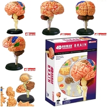 4D maître cerveau humain modèle structure assemblé anatomie dimensionnelle 32 pièces ensemble