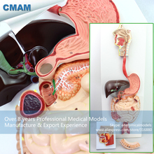 CMAM-VISCERA11 Human Digestive System Model For School Supply, 3 part