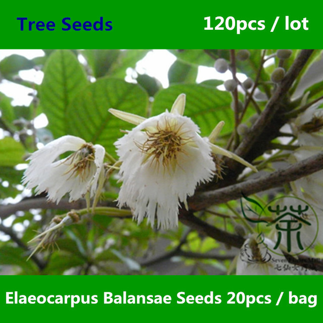 japanese blueberry tree dying excellent seeds garden landscape ye ornamental plant cost disease