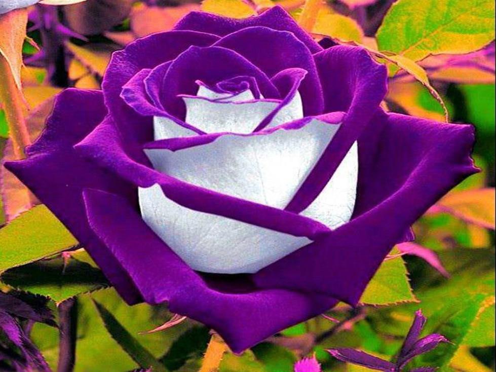 200Pcs Rare Flower Purple White Rose Flower for Home