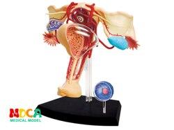 Sistema reproductor femenino 4d rompecabezas maestro ensamblaje juguete Cuerpo Humano órgano modelo médico anatómico modelo de enseñanza