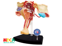 Sistema reprodutivo fêmea 4d master puzzle montagem brinquedo corpo humano órgão anatômico modelo de ensino médico
