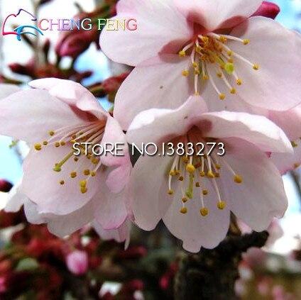 50 Japanese Cherry Tree Pink Cloud Oriental Sweet Prunus Serrulata