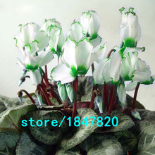 GGG Hot Sale Rare Green Edge White Cyclamen Flower Seeds Perennial Flowering Plants Cyclamen Seeds for DIY Home & Garden 100PCS