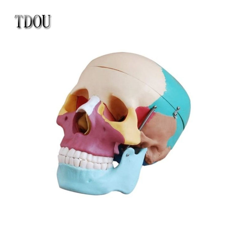 TDOUBEAUTY Esqueleto Anatomia Human Skull Anatomical Anatomy Skeleton Medical Model & Colored Bones Life Size