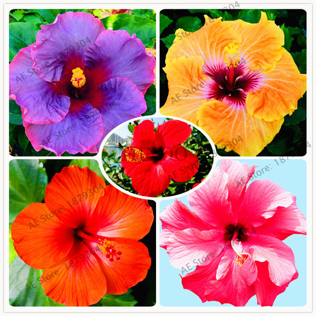 100pcsbag Hibiscus Flores24 Different Colors Hawaii Bonsai Potted